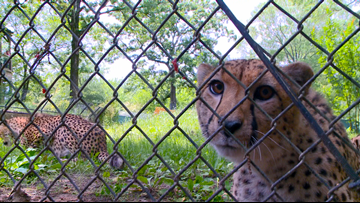 Little Rock Zoo's two male cheetahs Oscar and Boomer turn three