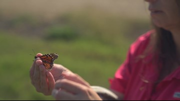 Arkansas sees highest monarch butterfly population in 12 years