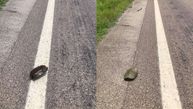 Arkansas deputies help turtle recover from 'rollover' accident