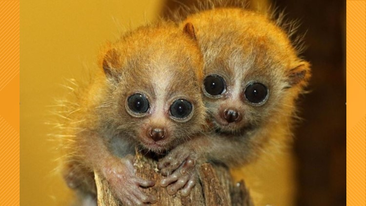 Little Rock Zoo announces birth of pygmy slow loris twins, species near extinction