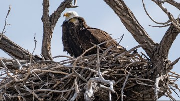 Recently widowed eagle spotted with younger man