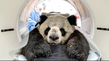 Berlin Zoo's First Panda Dad Undergoes Medical Treatment