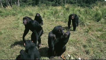 Fatal Chimpanzee Attacks on Humans on the Rise