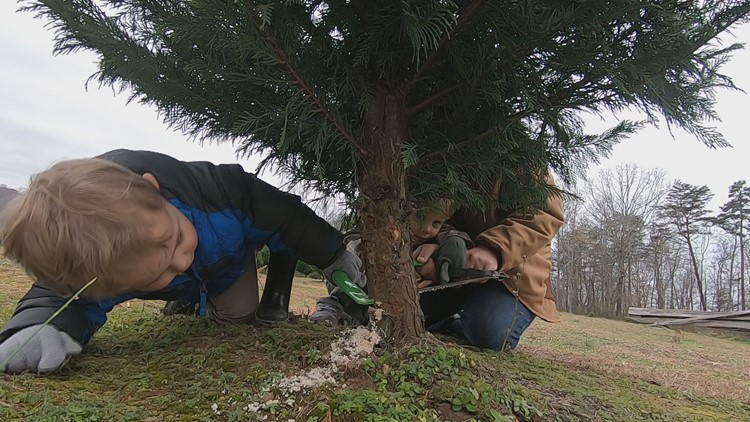 Christmas tree shortage expected this holiday season for both real and artificial trees