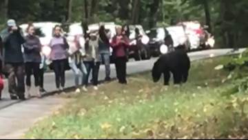 Don't do this: Tourists crowd right next to a bear in the Smokies
