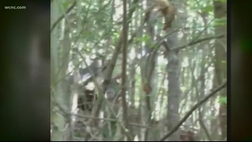 North Carolina man claims he spotted three Bigfoots and caught them on video