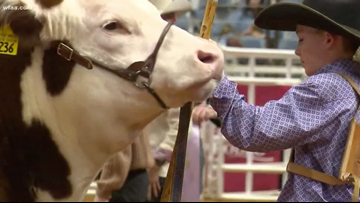 Grand champion steer 'Cupid Shuffle' sells for record-breaking $300K
