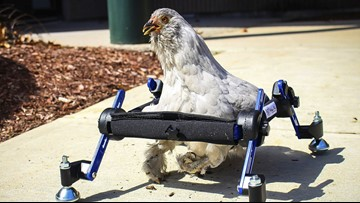Girl Not Amused By 'SNL' Joke About Her Disabled Pet Chicken