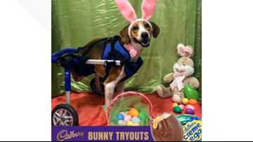 2-legged Ohio dog named 'Lieutenant Dan' is a finalist to be the next Cadbury Bunny