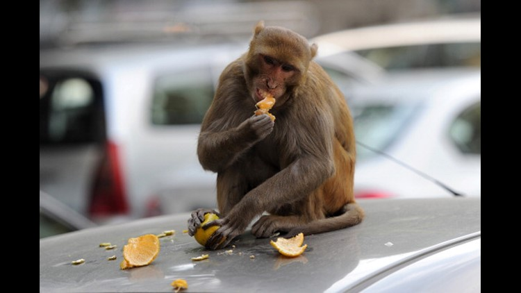 Monkeys attack lab technician in India, run away with COVID-19 samples