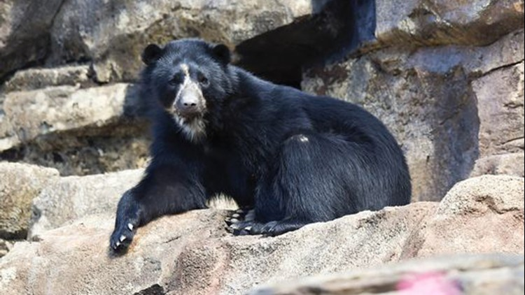 A Music City man got this adorable video of a young boy having fun with one of the zoo's Andean bears.