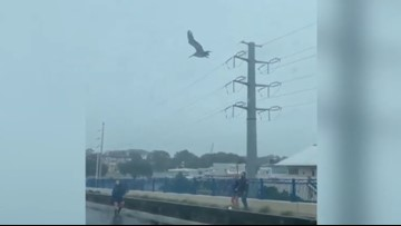 Watch: Good Samaritans rescue pelican in distress during Hurricane Dorian
