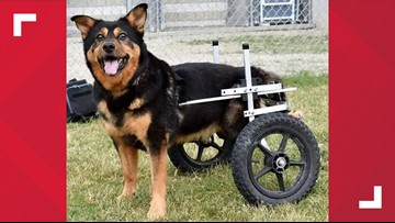 Bandit, the wheelchair-bound dog, is getting a forever home