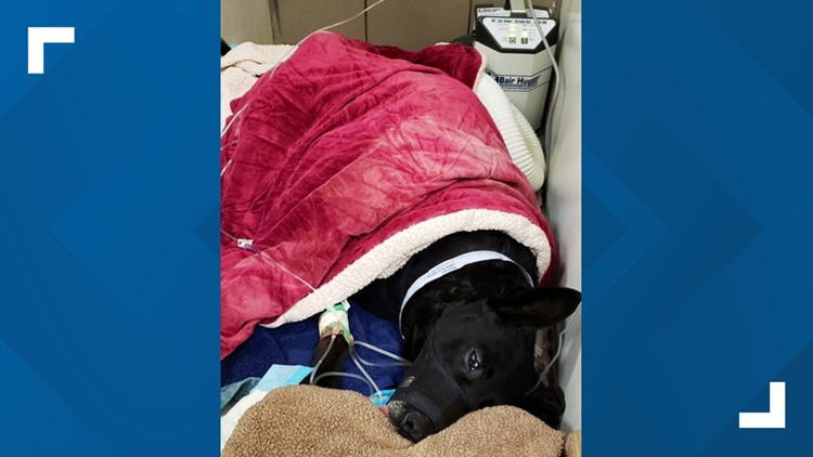 He once beat cancer, now police K-9 D'Jango is recovering after being shot