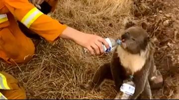 Thousands of koalas feared dead in Australia wildfires