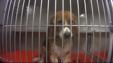 Company ends chemical study involving beagles at Michigan lab